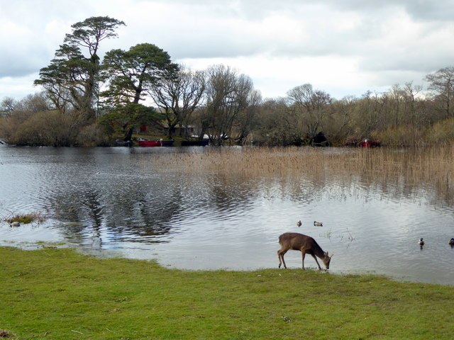 Deer near Ross Castle, drinking