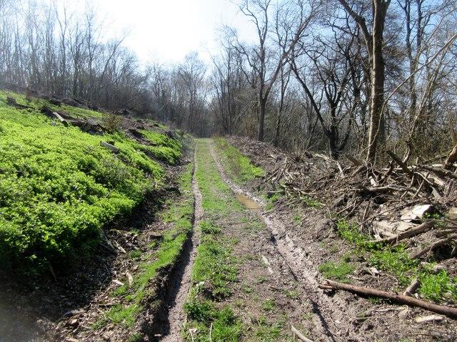Forest track, Duncton Hanger