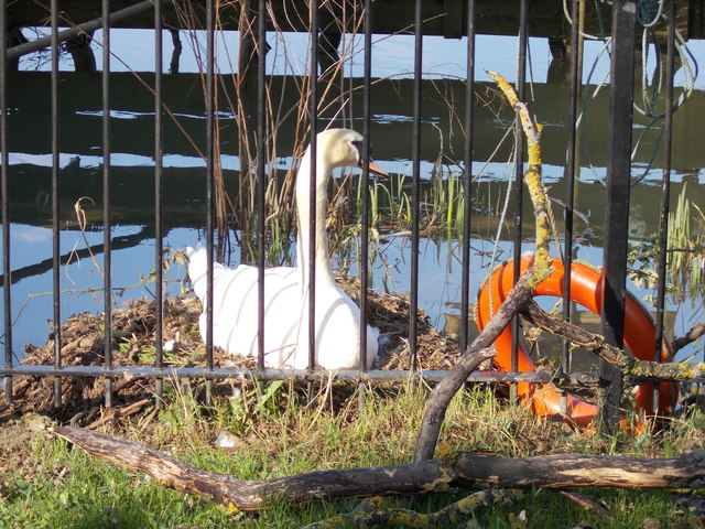 Swan's nest behind The Woolpack, Stanground