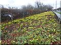 TQ1775 : Daffodils alongside Twickenham Road by Marathon