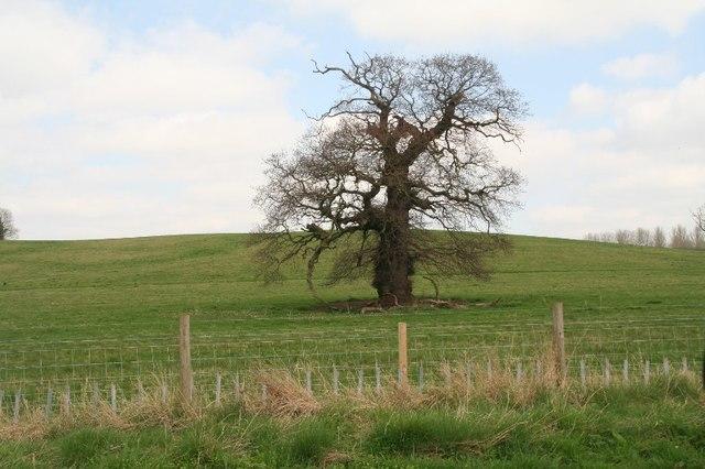 Tree by the Tar Lane through the Belton    © Chris cc-by-sa