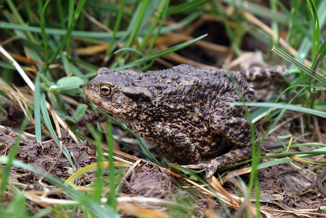 A common toad at Crailing