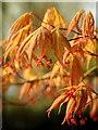 SO6020 : Acer palmatum 'Nicholsonii' : Week 16