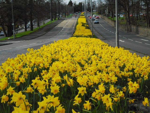 Daffodils, Switchback Road