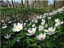 NZ1265 : Wood Anemones (Anemone nemorosa), Tyne Riverside by Andrew Curtis