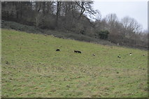 SX8158 : Sheep grazing by N Chadwick
