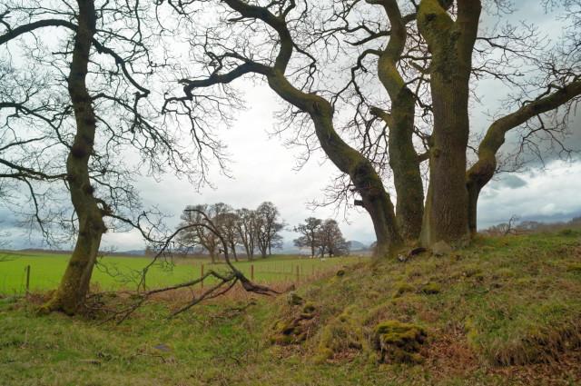 Trees at the edge of Drummondreach Oak Wood