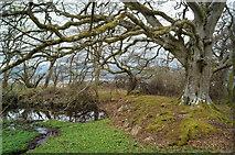 NH5757 : Beech by the lochan in Drummondreach Oak Wood by Julian Paren