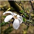 TG2108 : Magnolia flower : Week 16