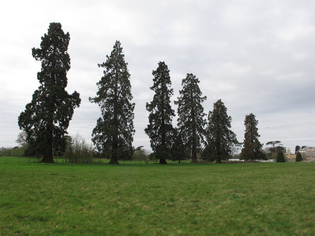 Row of giant sequoia trees, Langley Park