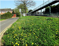 ST3091 : Profusion of dandelions on a Malpas corner, Newport by Jaggery