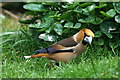 HP6208 : Hawfinch (Coccothraustes coccothraustes), Baltasound : Week 16