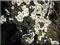 NT2470 : Kretzschmaria  deusta on an old log by M J Richardson