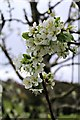 SH5573 : Apple blossom time at Plas Cadnant by Richard Hoare