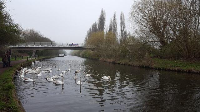 Swans on the River Lee Navigation