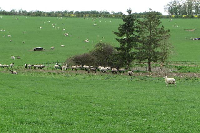 Lambs gambolling round the pond