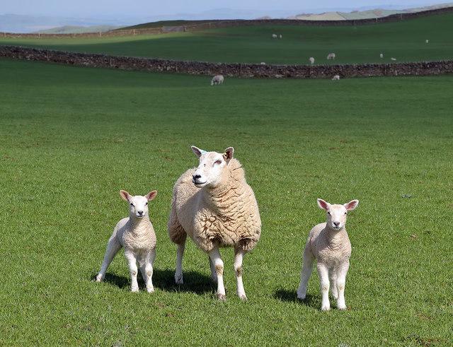 Sheep with lambs at Barnbackle