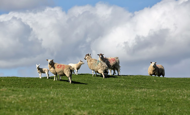 Sheep and lambs on Barnbackle Hill