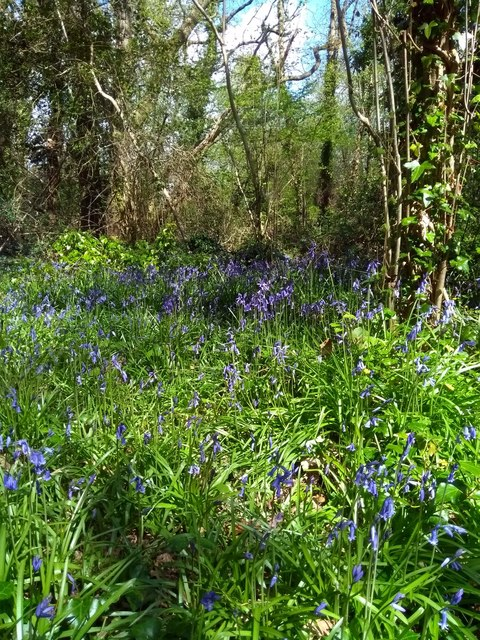 Bluebells is Gillham Woods Nature Reserve