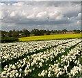 TG3004 : Crops growing south of Surlingham : Week 17