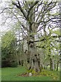 SH9835 : Gnarled beech tree, Palé Hall by Eirian Evans