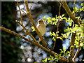 H3784 : Female chaffinch, Magheracoltan by Kenneth  Allen