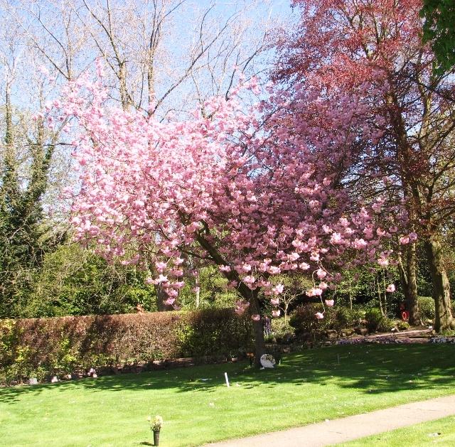 Ornamental cherry tree (Prunus spec)