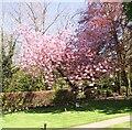 TG2108 : Ornamental cherry tree (Prunus spec) by Evelyn Simak