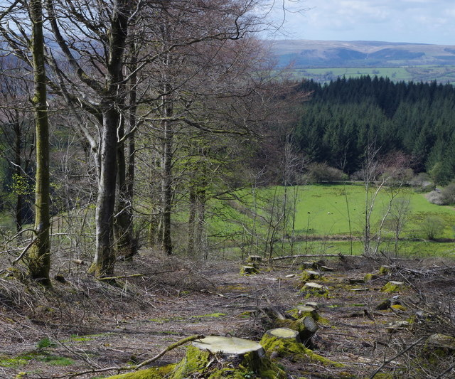 Felled area and line of beech trees above Cwm-coed-oeron