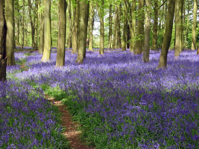 Bluebells in Badbury Clump