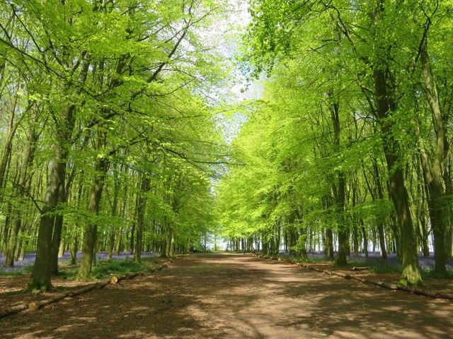 A path through the beech trees on Badbury Hill