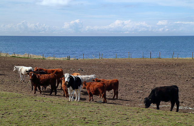Bullocks at Bennane Lea