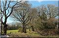 SX8582 : Trees near West Castle Park by Derek Harper