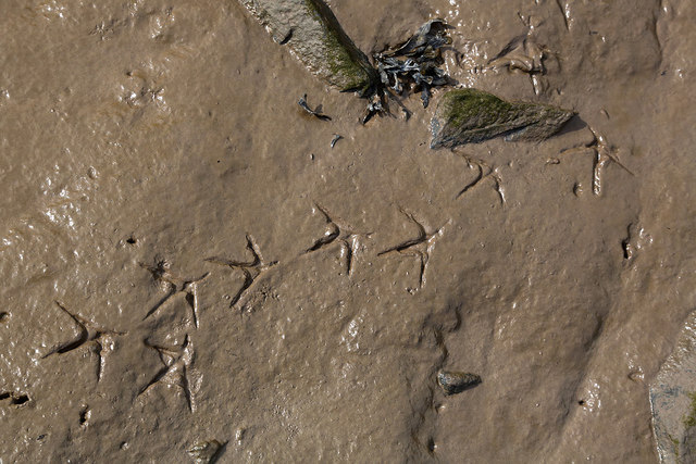 Bird tracks by the River Dee