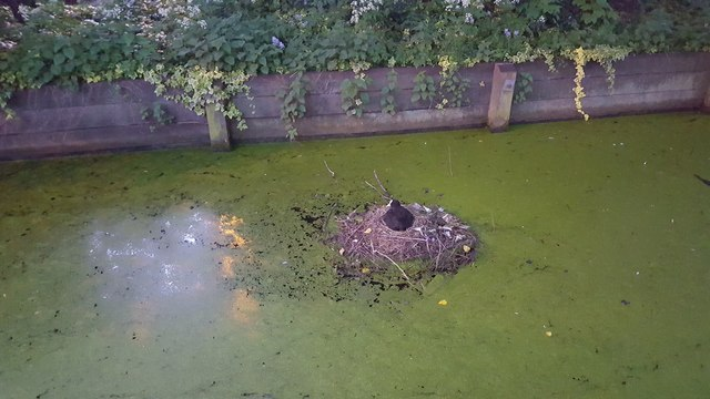 Coot on Nest in Enfield
