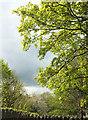 ST5874 : Sycamore, Redland by Derek Harper