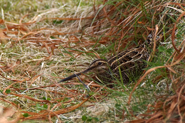 Common Snipe (Gallinago gallinago), Foula