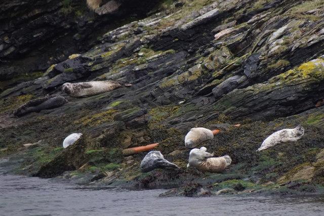 Common Seals (Phoca vitulina), Ham Voe, Foula