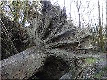 SN6672 : Detail of a fallen tree, Coed Alltfedw by Rudi Winter