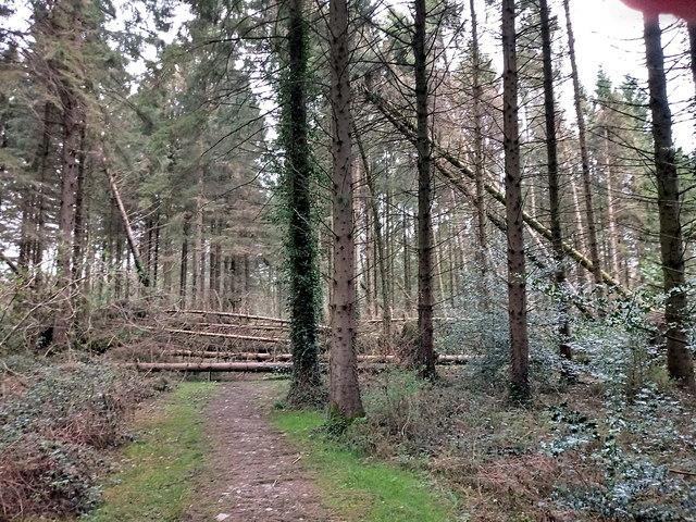Windblown trees, Gelli Ddu