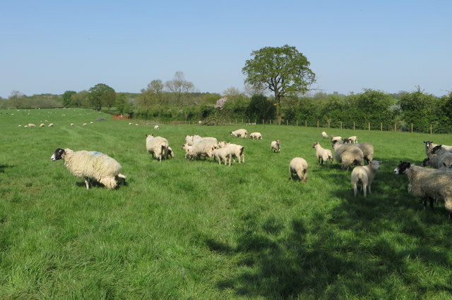 Sheep on the footpath to Akeley
