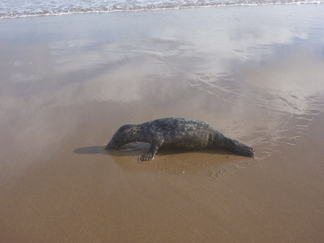 Coastal East Lothian : Seal Pup, Belhaven Sands