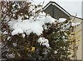 SX8964 : Snow on forsythia, Chelston by Derek Harper