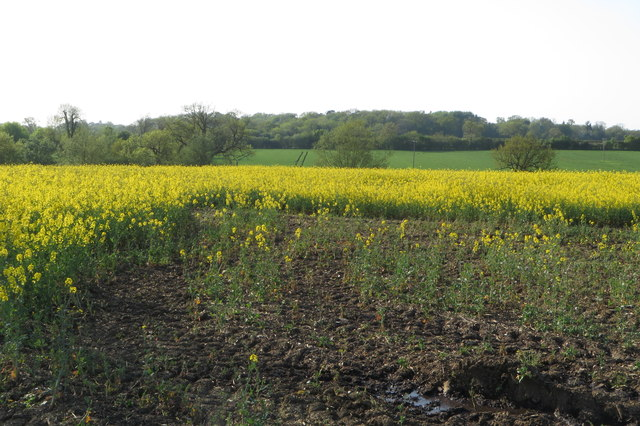 Rape field with Whitfield Wood in the distance