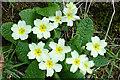 NG5948 : Primroses (Primula vulgaris) by Anne Burgess