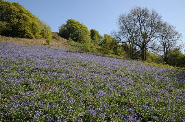 Bluebells on Midsummer Hill