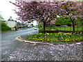 H4572 : Cherry tree blossom petals along Dublin Road, Omagh by Kenneth  Allen