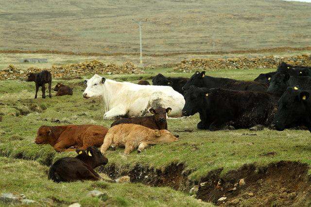 Cattle resting at Halligarth, Baltasound