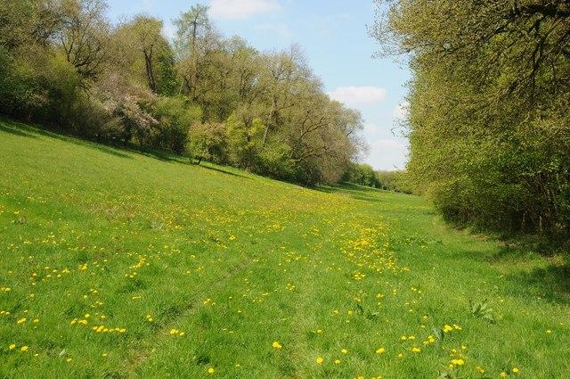 Dandelions in Barnsley Warren