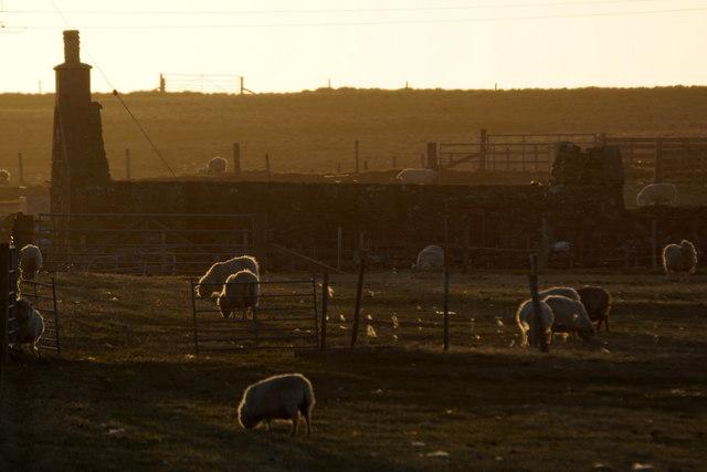 Sheep at Muness